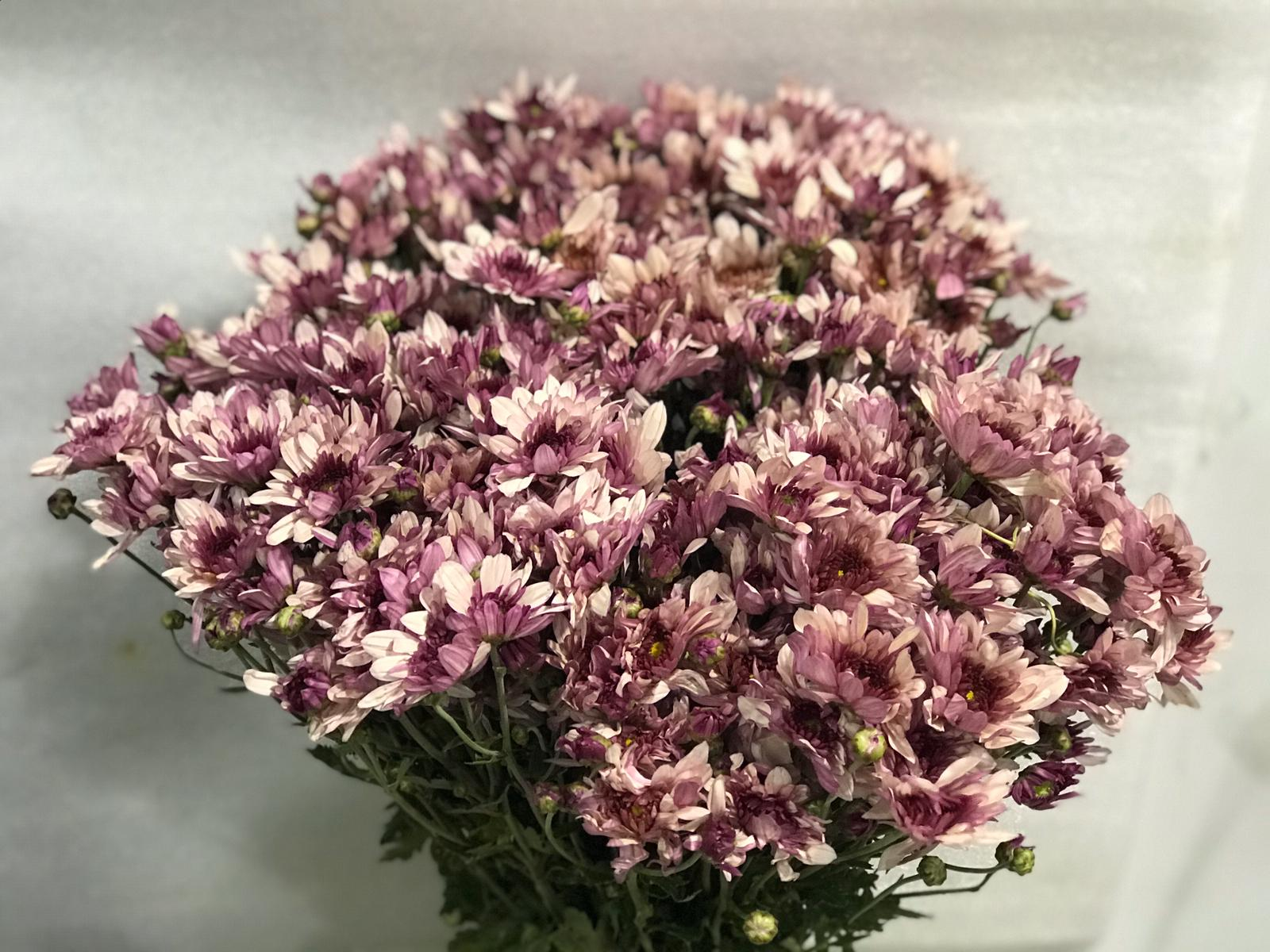 Chrysanthemum Light Purple Online