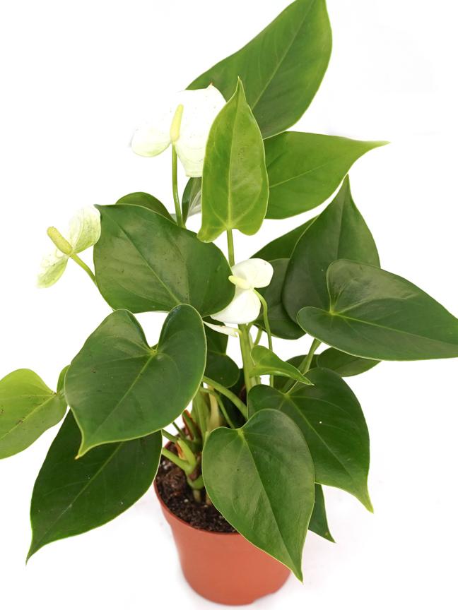 Anthurium A. Arisa Baby White Online