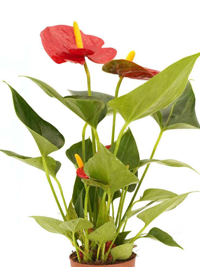 Anthurium A. Baby Arisa Red Online