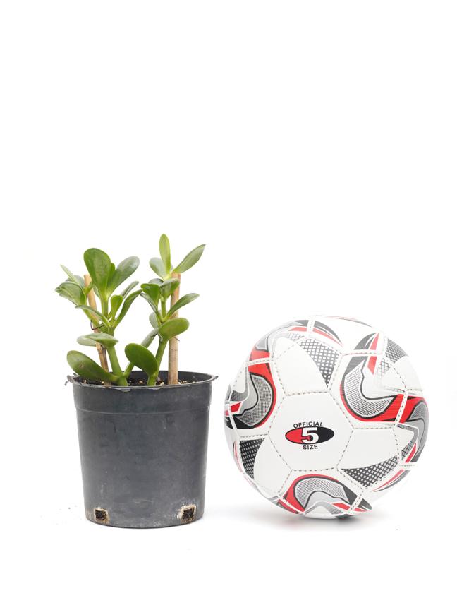 Jade Plant black pot Online