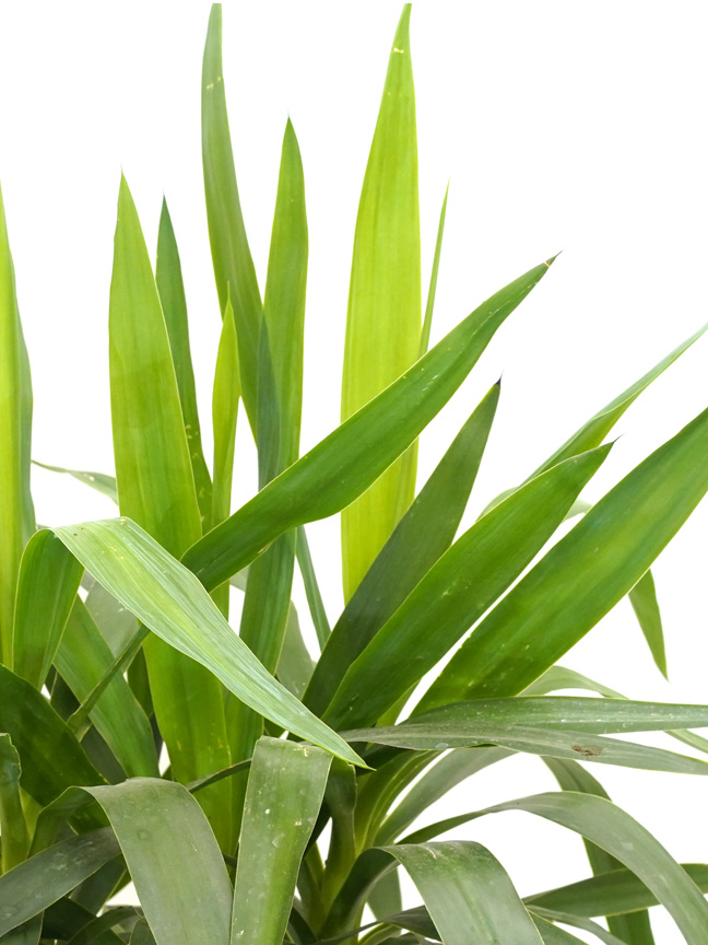 Yucca Branched Online