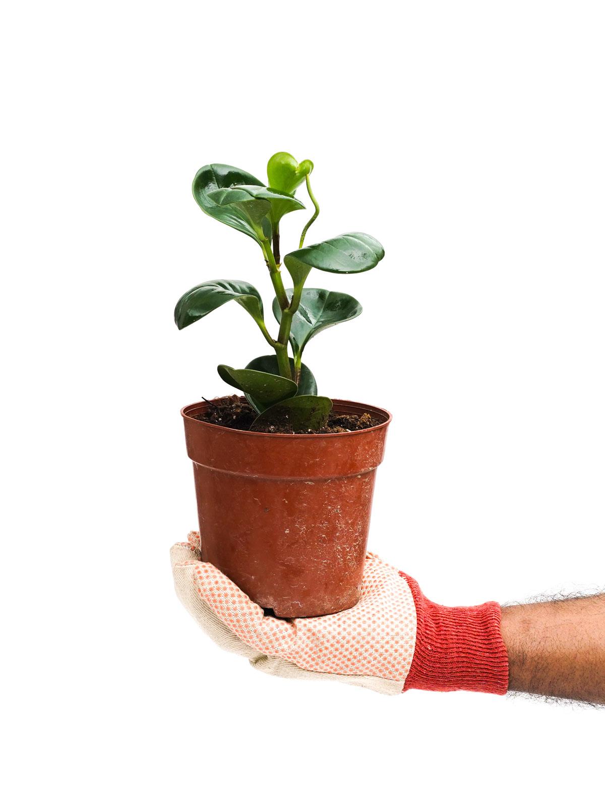 peperomia obtusifolia green Online