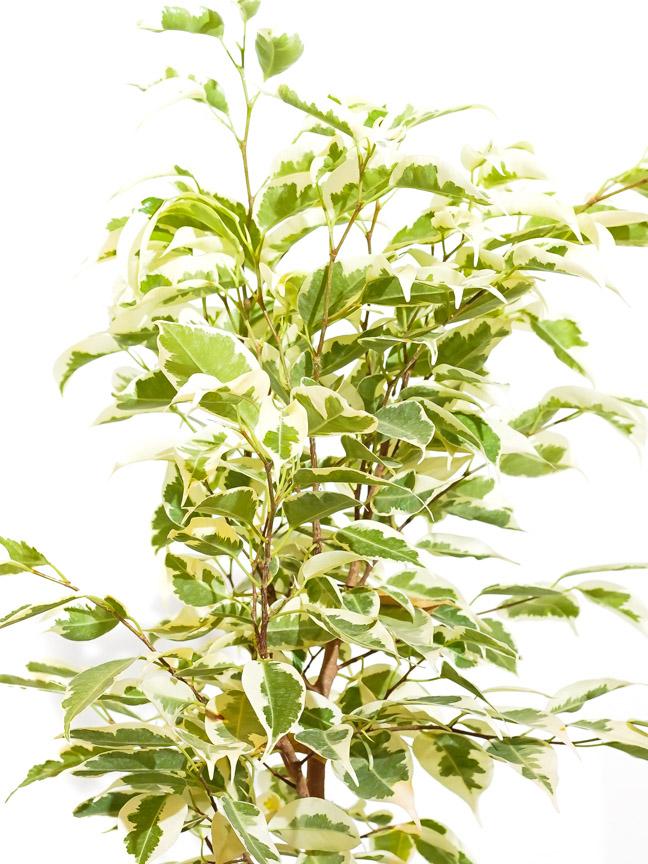 Ficus Benjamina Starlight Bushy Online