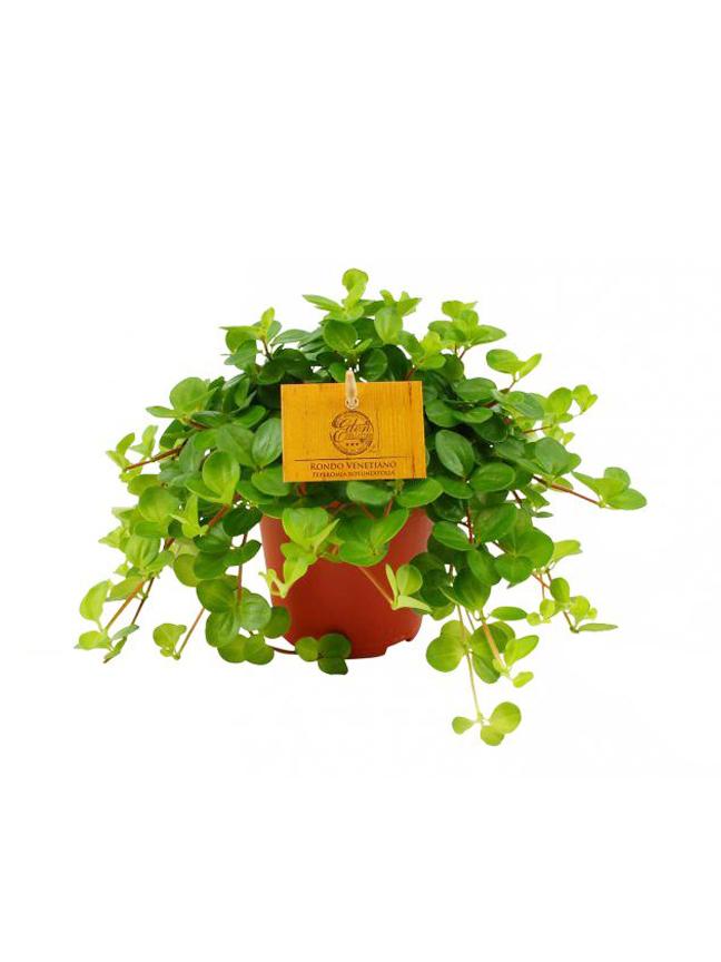 Peperomia Rotundifolia Online
