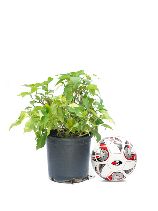 Acalypha Small Online