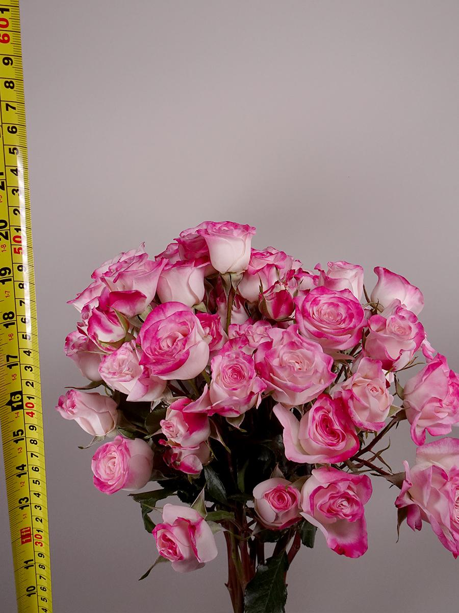بيبي روز وردي  الزهور بالجملة زهور مقطوفة