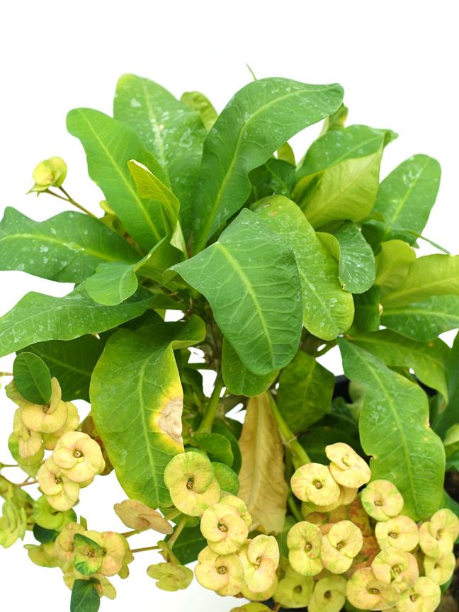 Euphorbia Milli Yellow Online