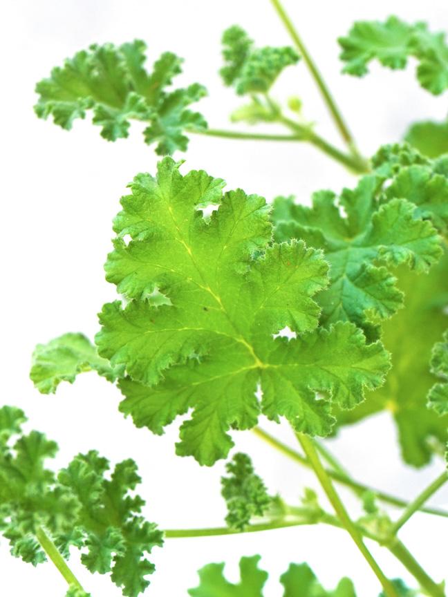 Attra - Herbs - Pelargonium graveolens Online