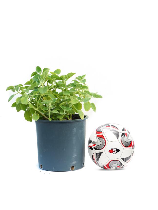 Za'atar American - Herbs Online