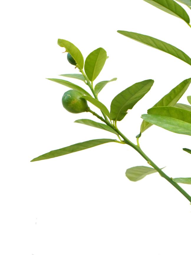 Lemon Shehri Online
