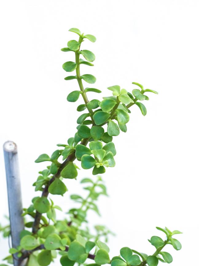 Jade Plant  Online