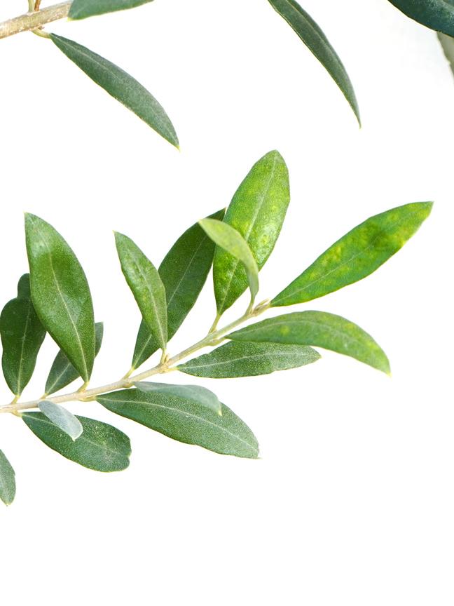 Olive Europaea Online