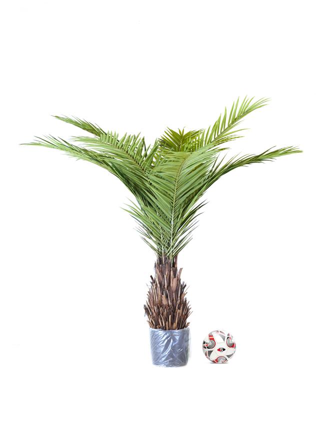 Phoenix Canari Palm Online