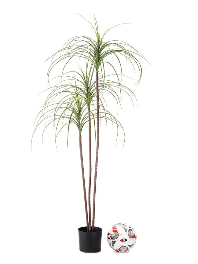 Ponytail Palm Online