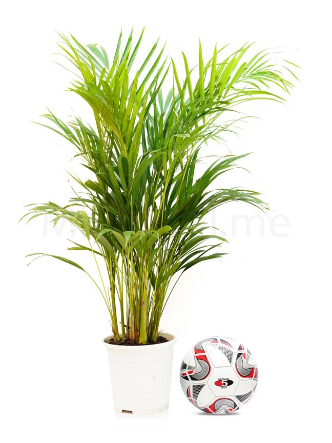 Areca Palm GREY Pot Online