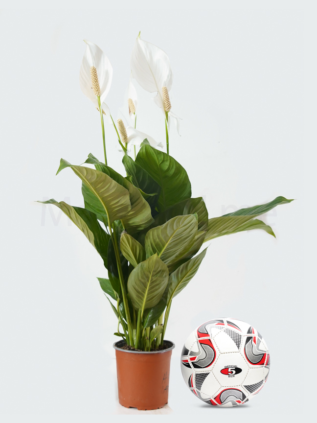 Spathiphyllum Cupido Compacto Online