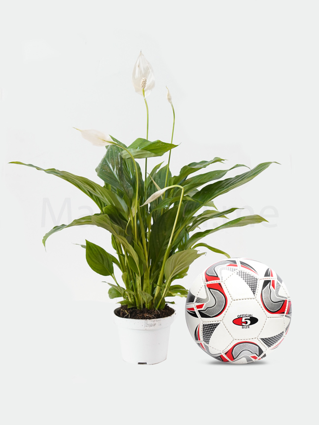 Spathiphyllum Chopin  - Peace Lily Online