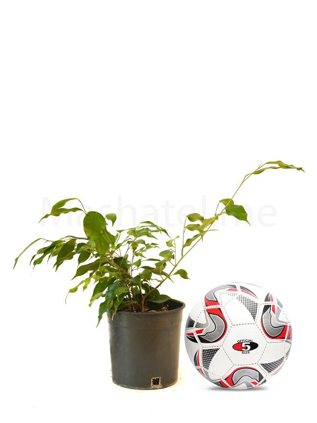 Ficus Benjamina Online