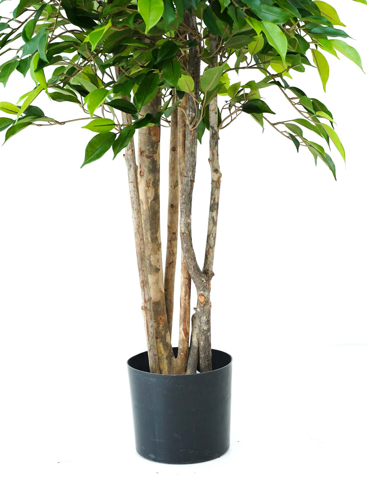 Ficus Natasja Tropical Tree Large Shopping