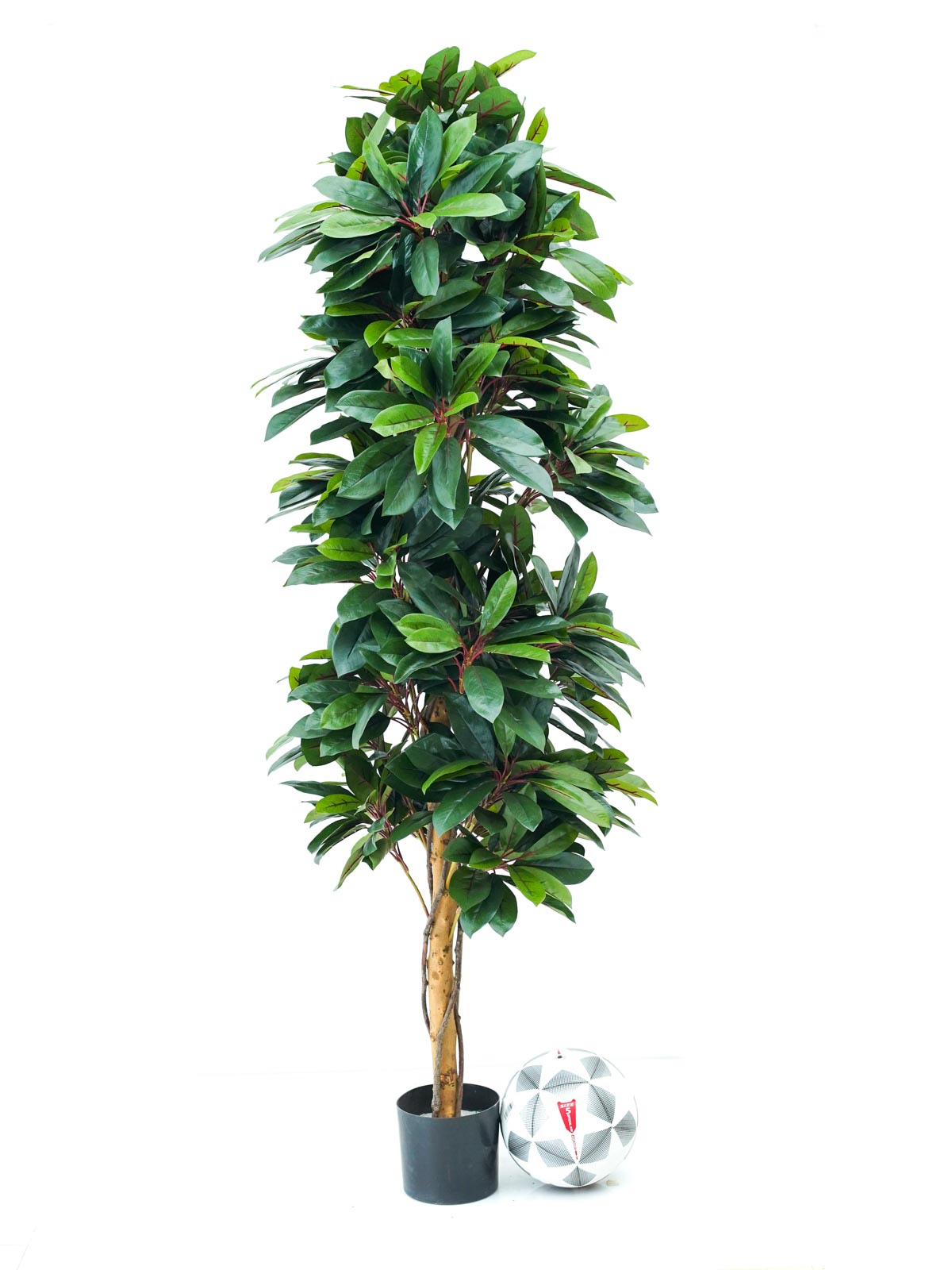 Red Lady Schefflera Natural Tree Large Shopping