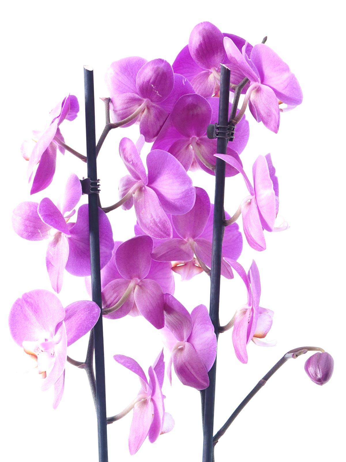 Phalaenopsis Orchid Purple Shopping