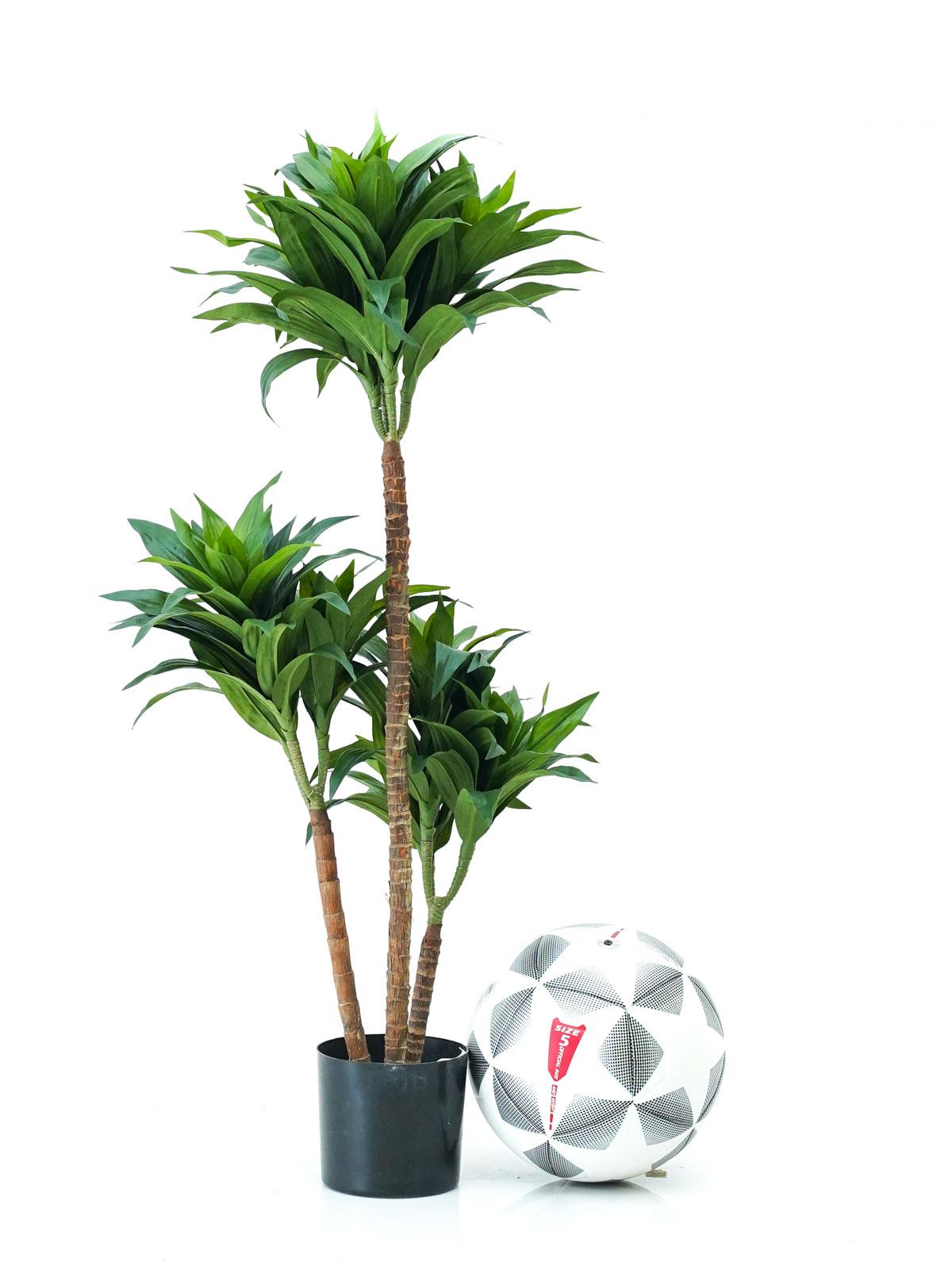 شجرة دراسينا فراجرانس - صغير Shopping