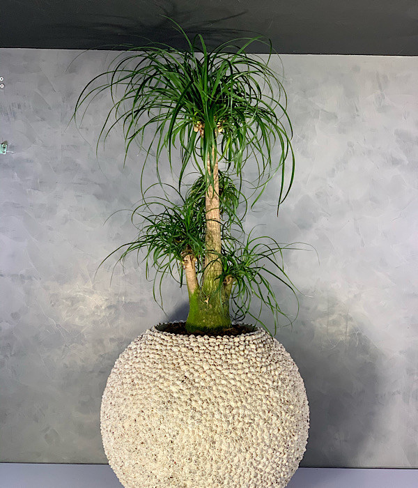 Shell Planter With Beaucarnea Shopping