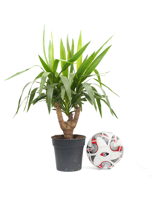 Yucca Branched Shopping