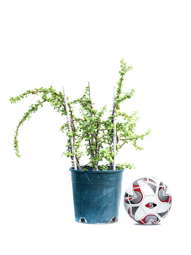 Jade Plant  Shopping