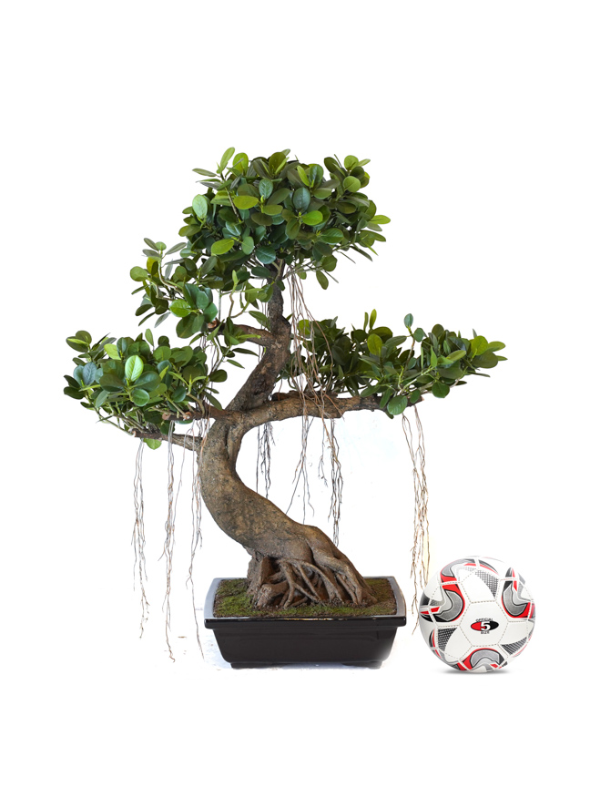 شجرة تين الباندا Shopping