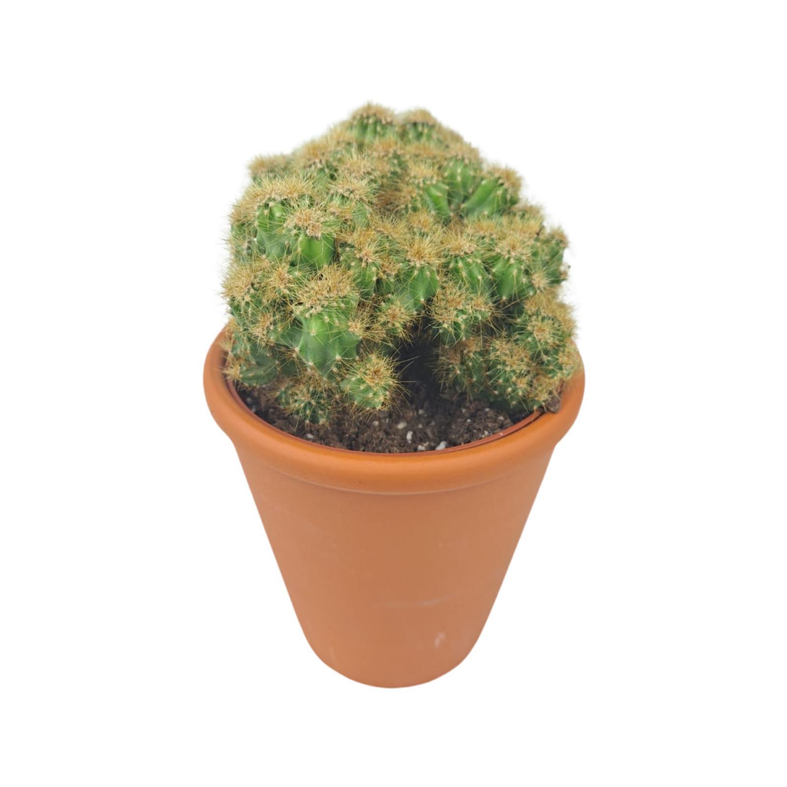 Cactus Mix Wholesale Plants Indoor Plants