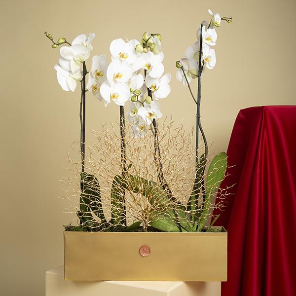 Mini ORCHIDS 1 Indoor Plants Flowering Plants