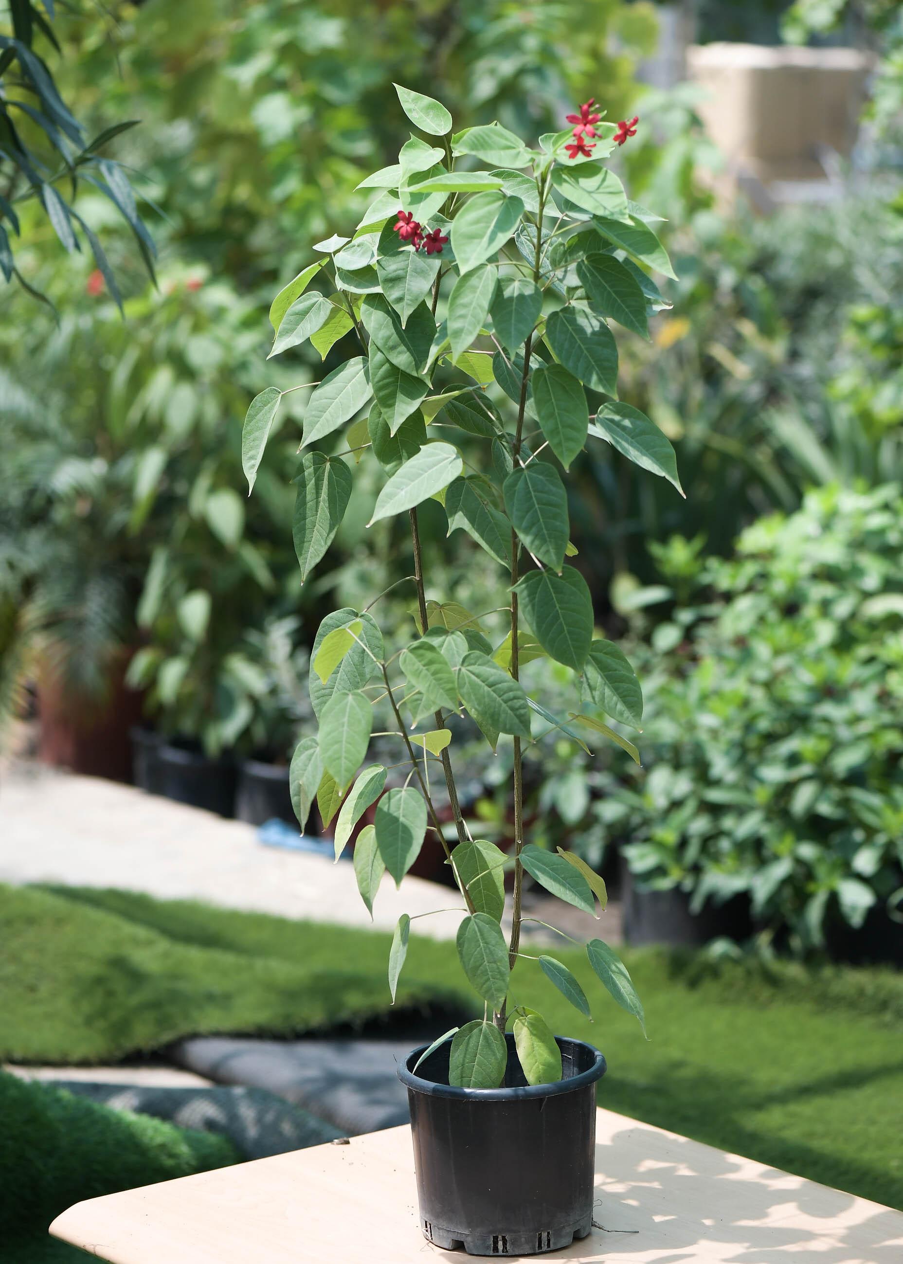 جاتروفا نباتات خارجية