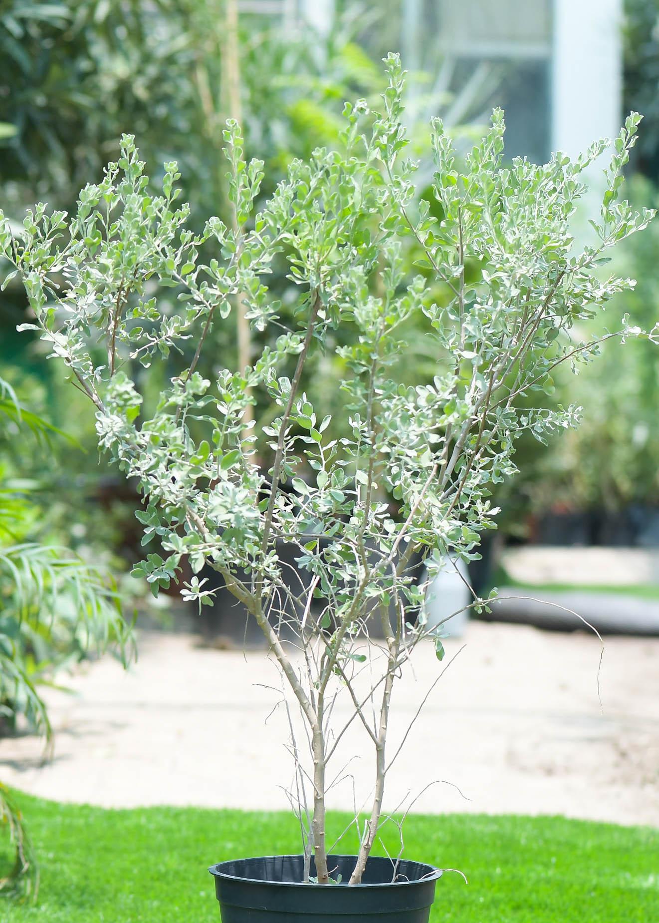Leucophyllum Outdoor Plants