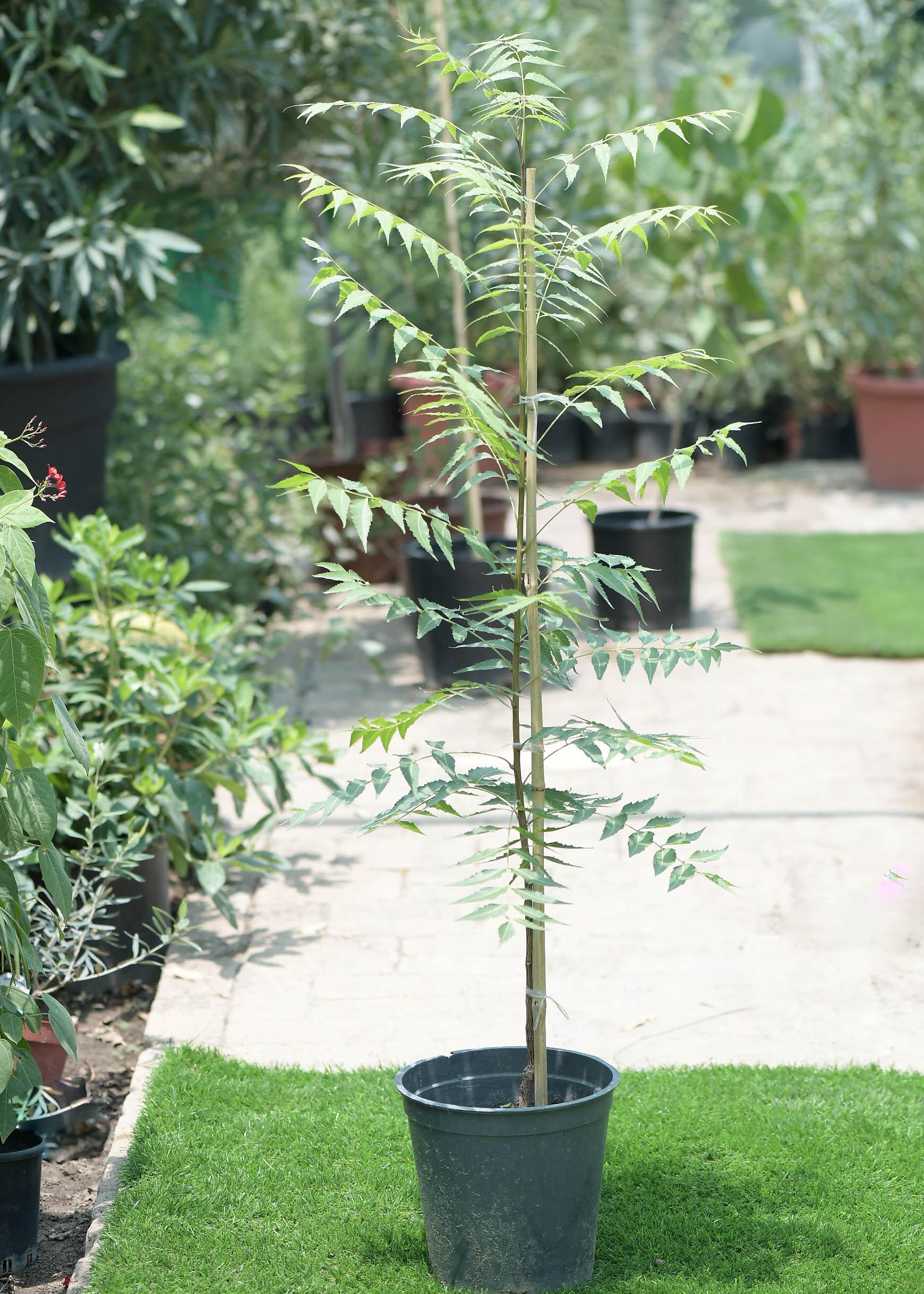 Neem Outdoor Plants