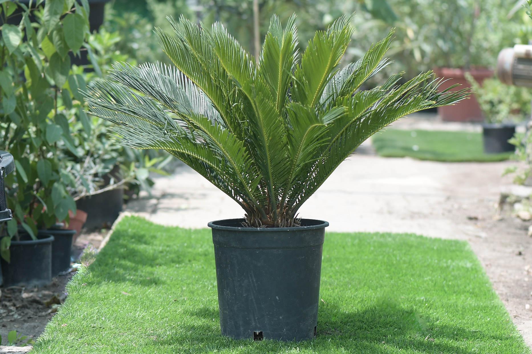 سيكاس ريفولوتا نباتات خارجية