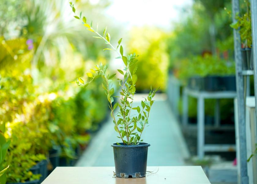حنة نباتات خارجية