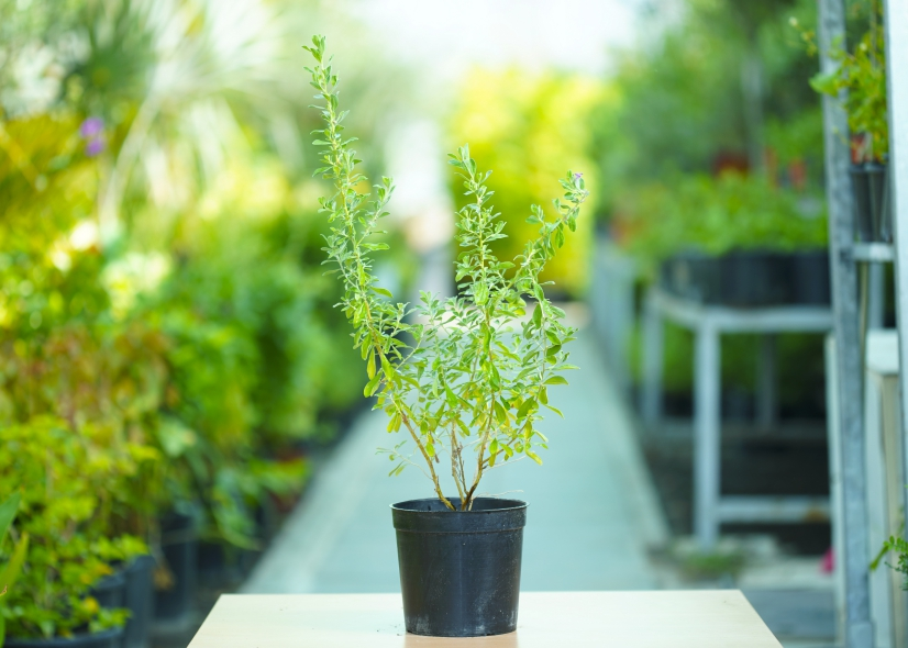 ليكوفيليم 'نباتات خارجية'