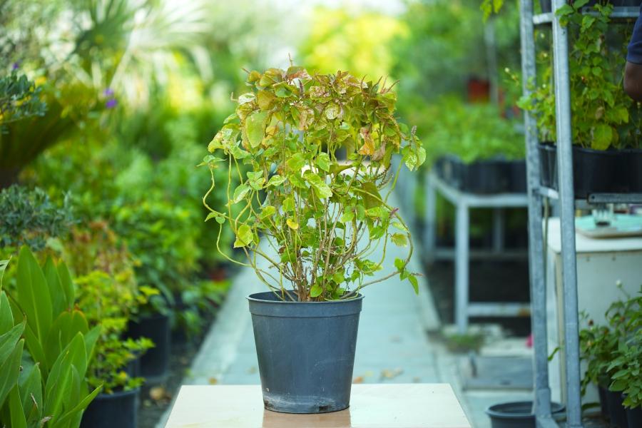 أكاليفا نباتات خارجية