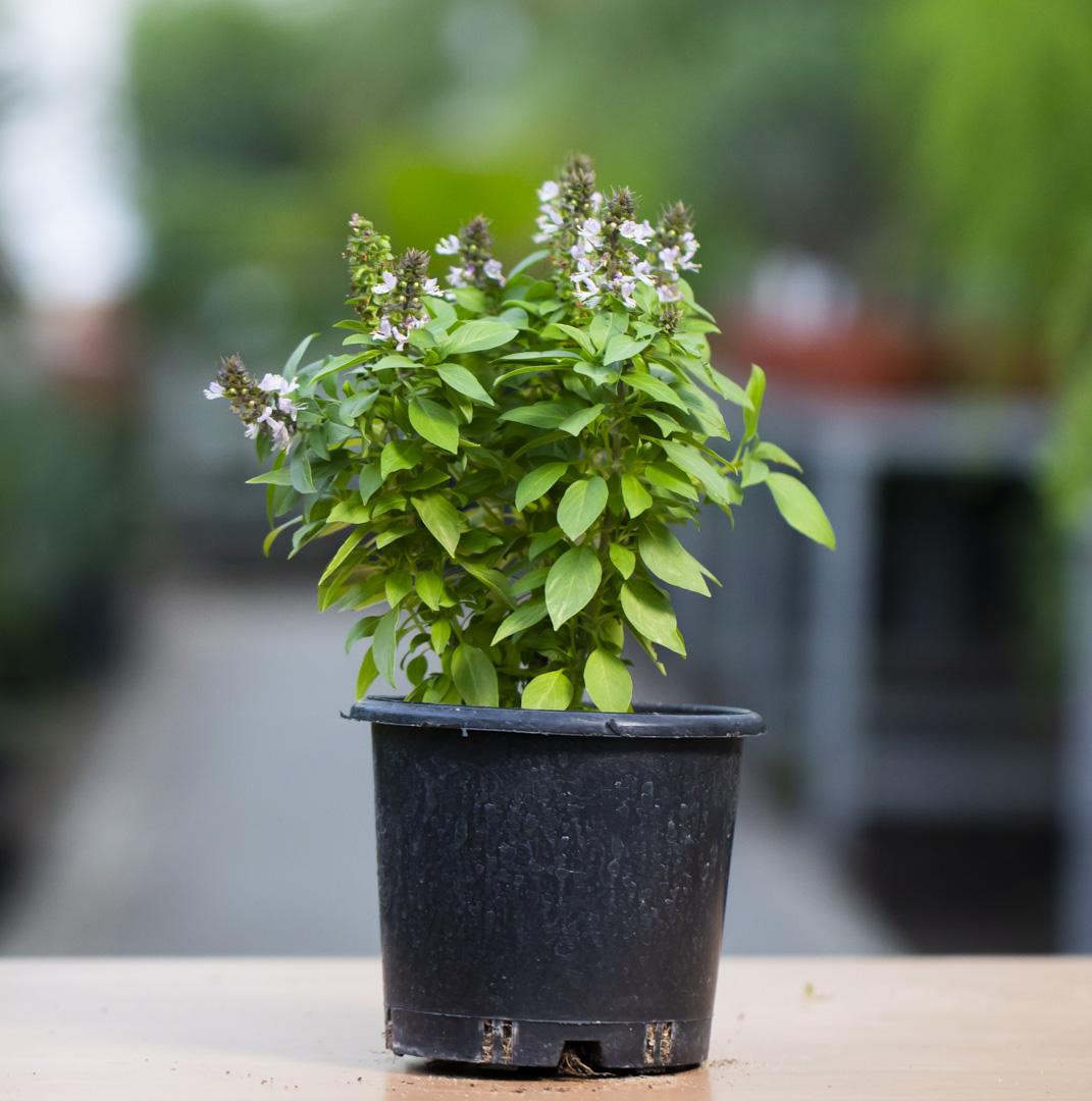 ريحان عربي نباتات خارجية