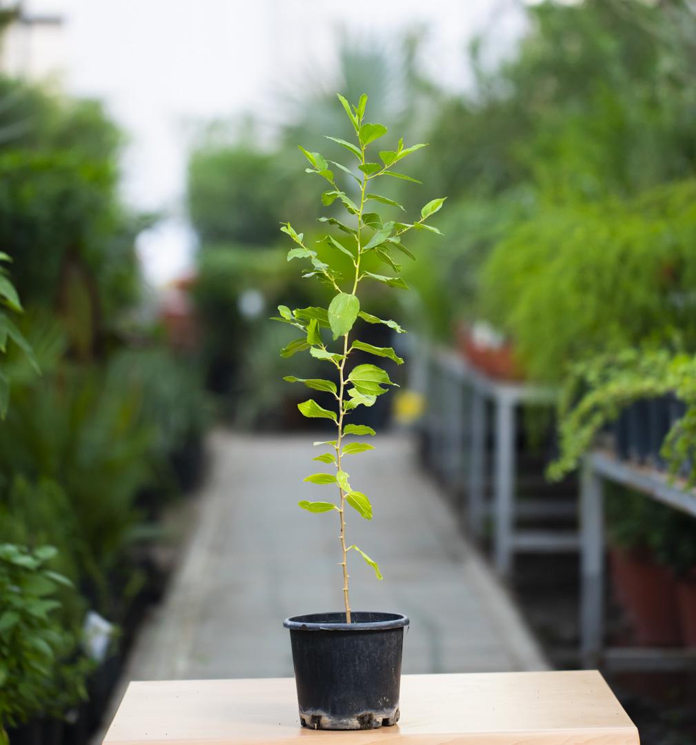 Kinar Outdoor Plants