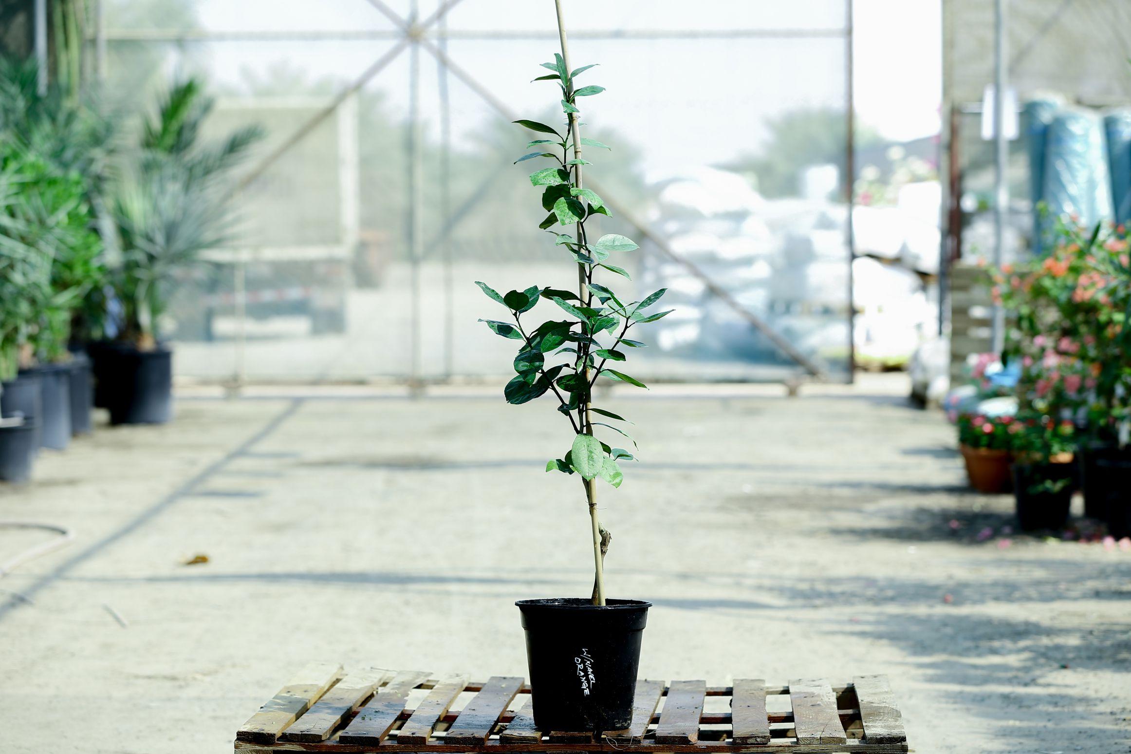 Orange Washingtonia Navel 'Outdoor Plants'