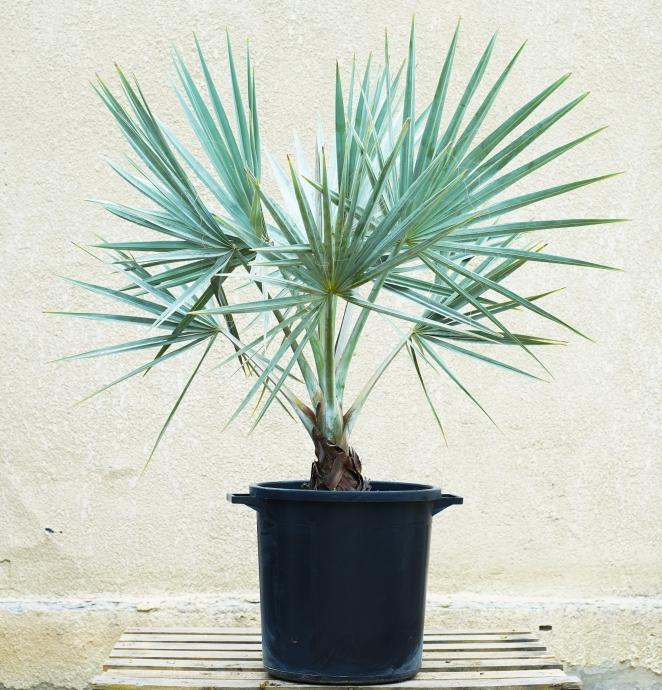 بسماركيا 'نباتات خارجية'