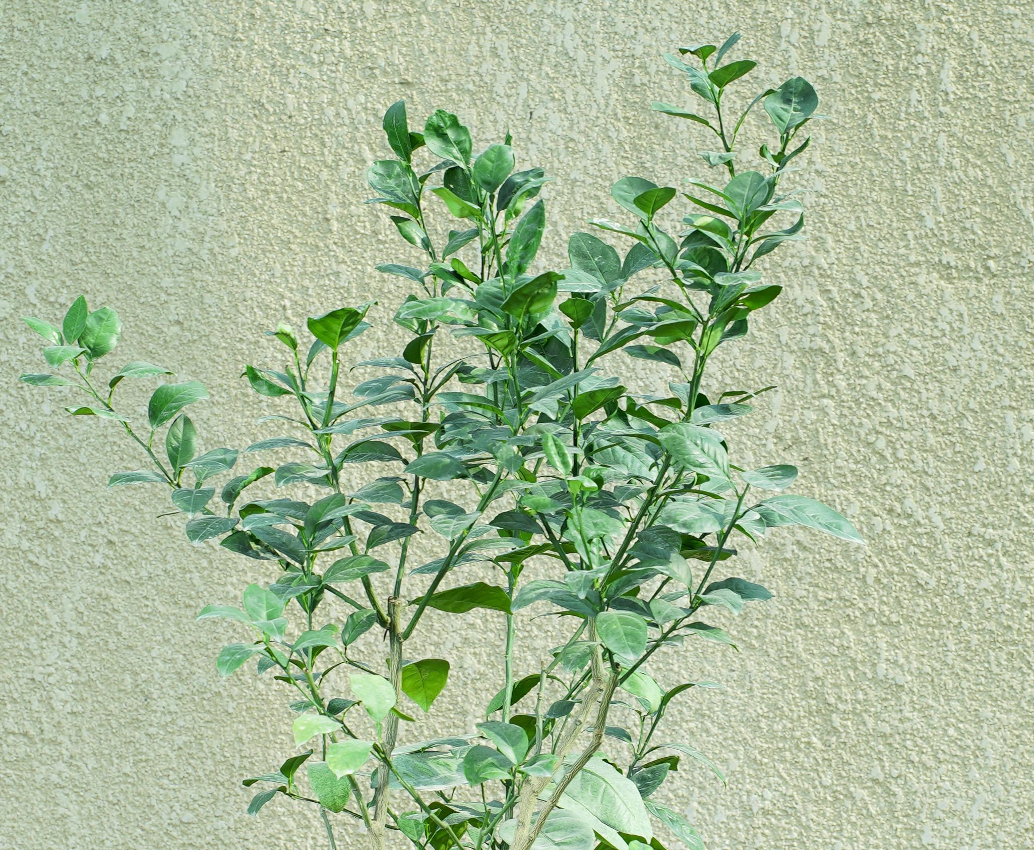 برتقال أبو سرة  نباتات خارجية