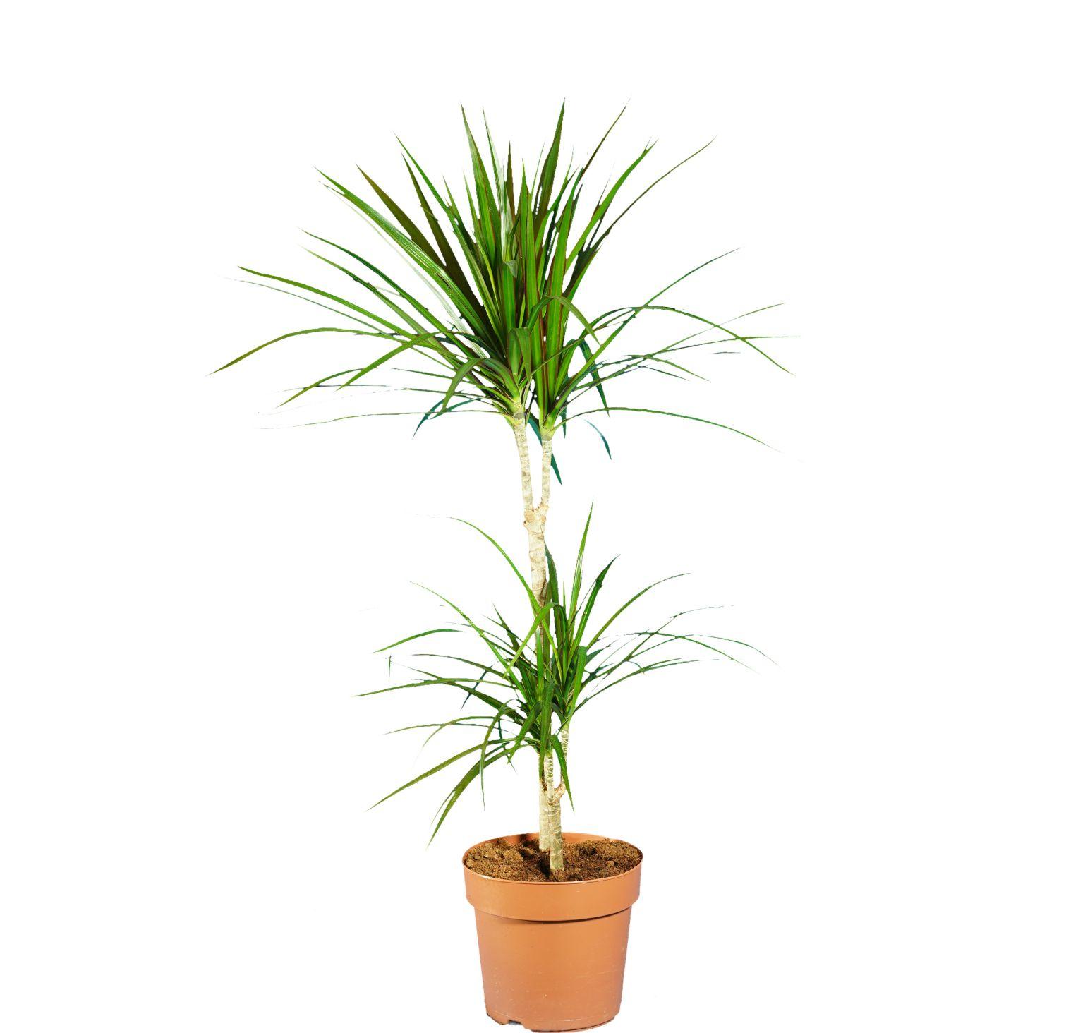 الخيزران مارجيناتا نباتات داخلية