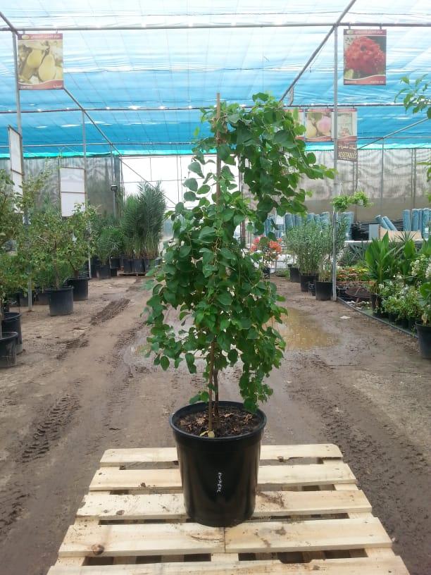 كنار نباتات خارجية