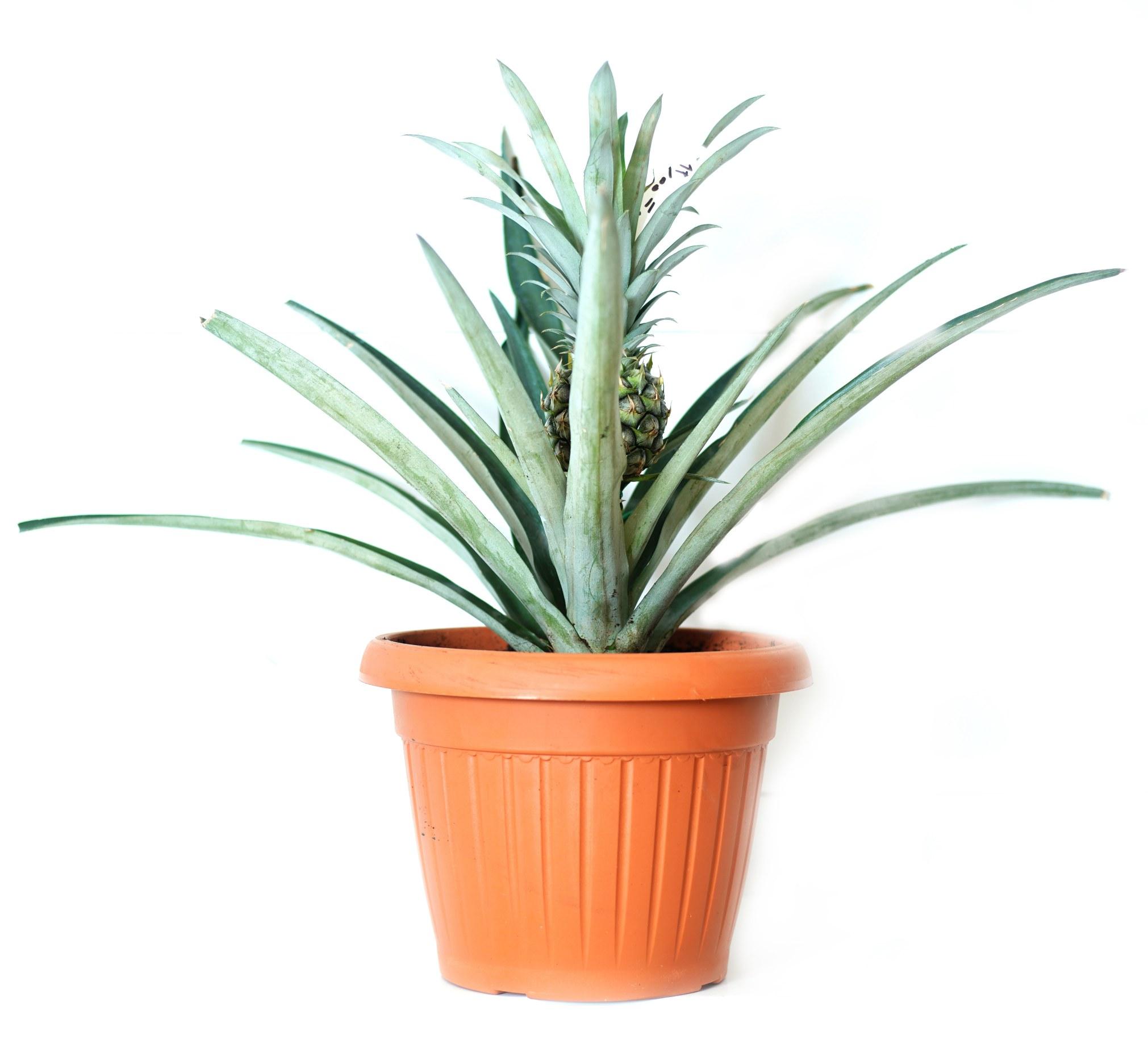Ananas Pineapple Outdoor Plants