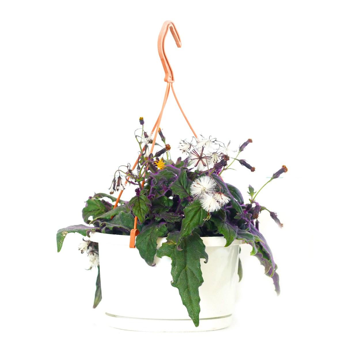 Gynura 'Indoor Plants'