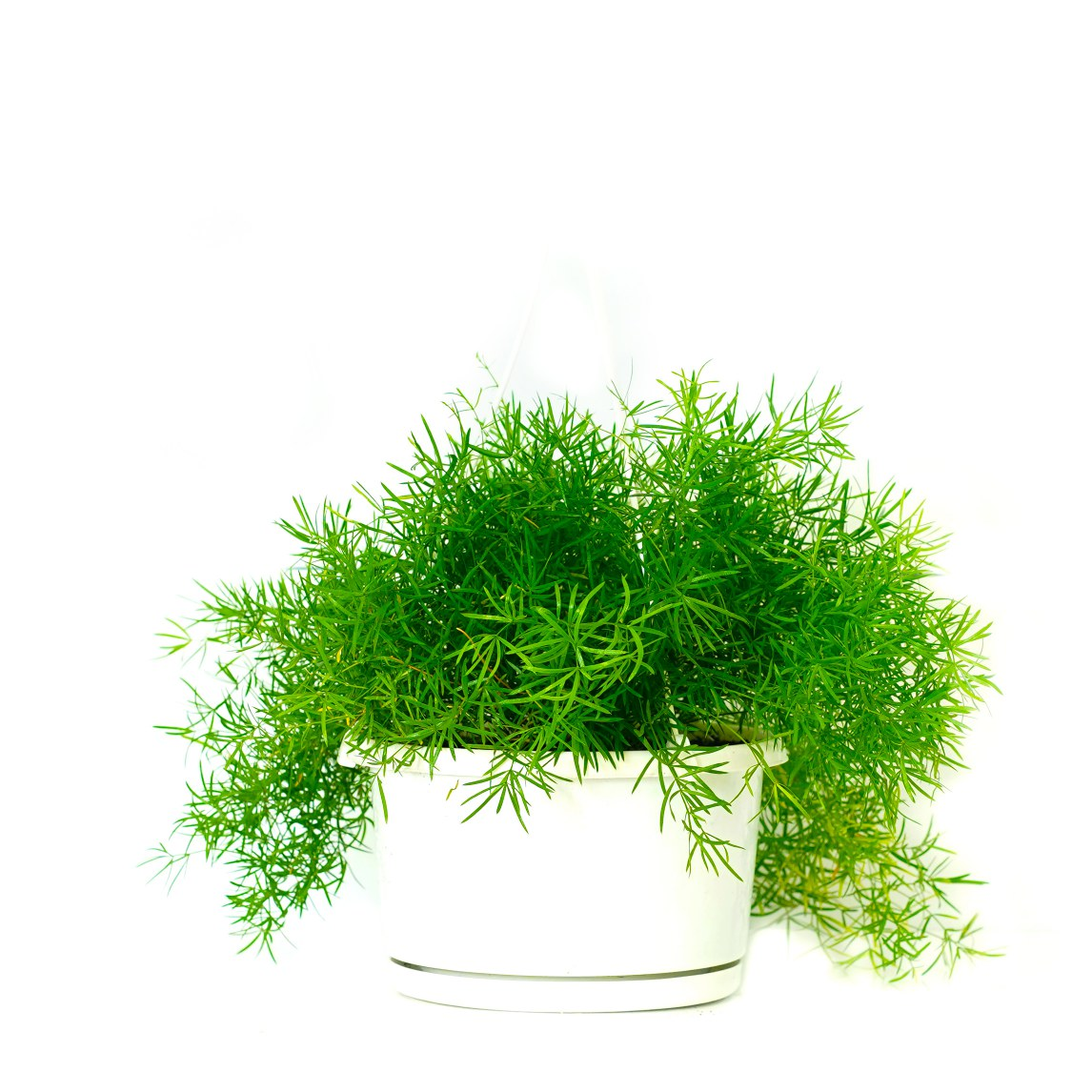 Sprengeri Asparagus Indoor Plants