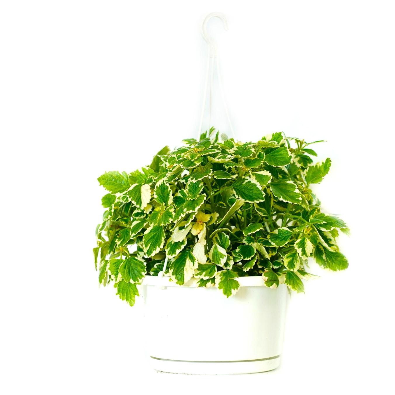 بليكترانتوس المرقش نباتات داخلية